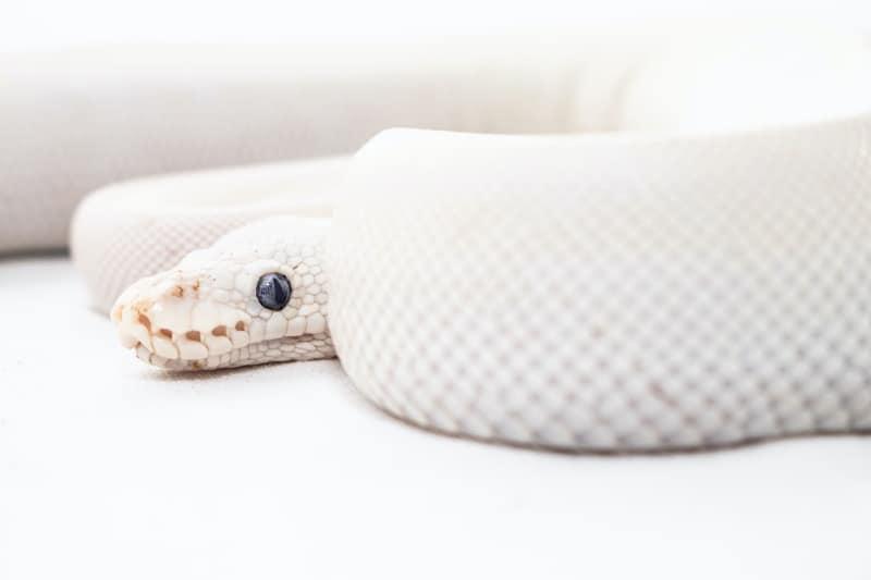 white snake in dream