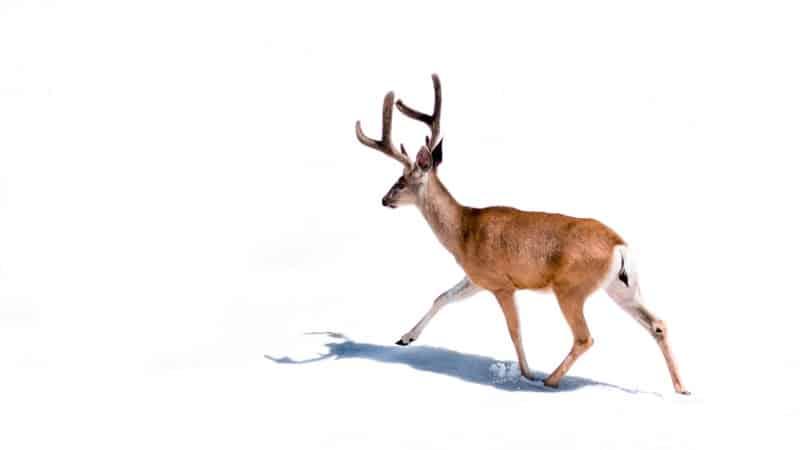 deer messenger animal