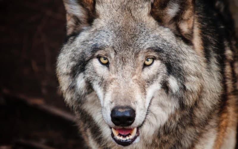 wolf face spirit animal hidden message